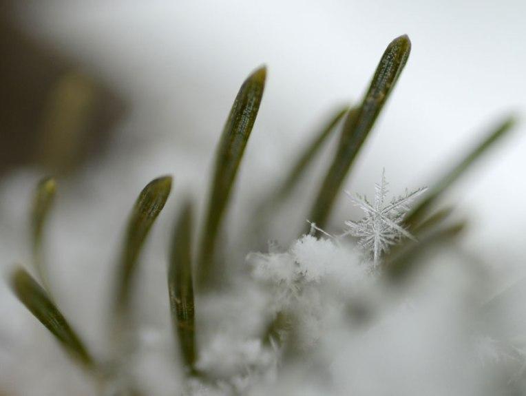 SnowonPines