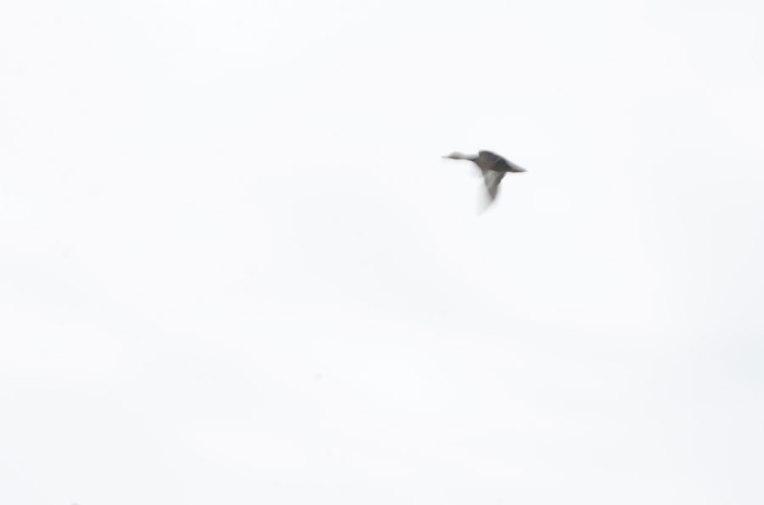 DuckFlight