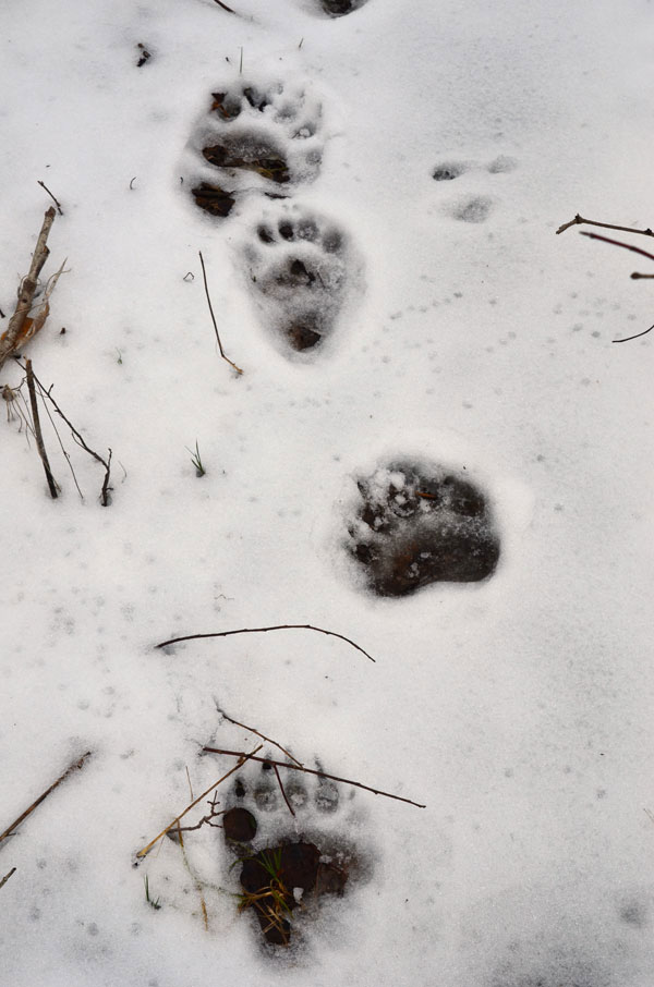 BearTracks1