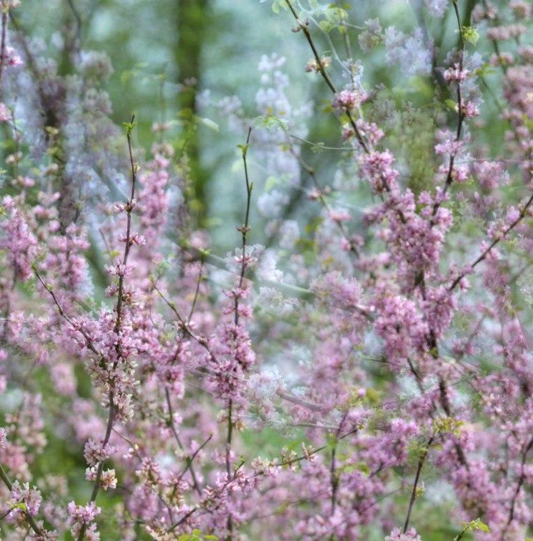 PinkBlossoms2