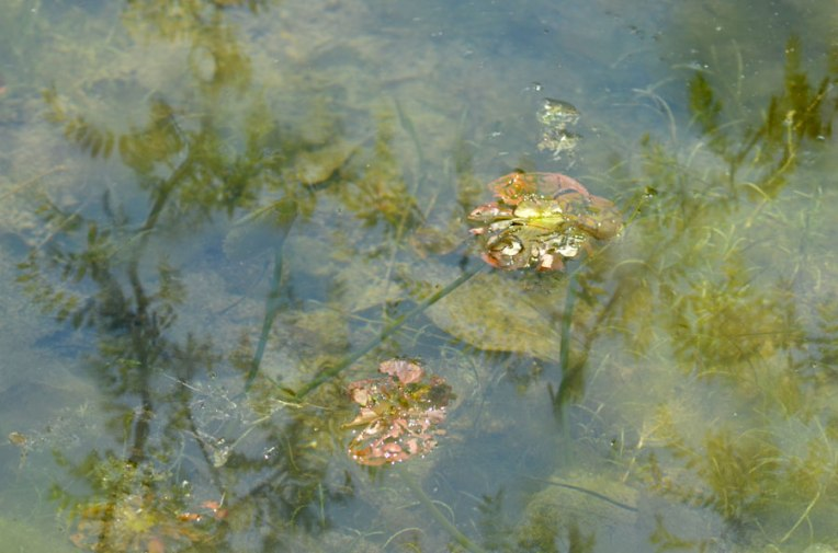 Waterlilies1