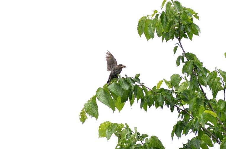 RedWingedBlackbird_Female