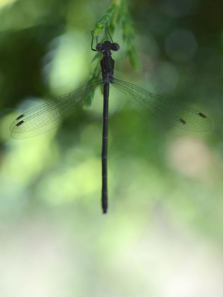 BlackDragonfly