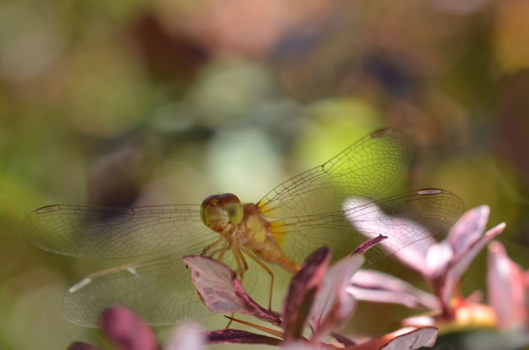 Yellow-greenDragonfly5