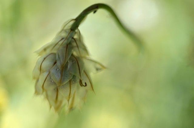 Seedheadbowed