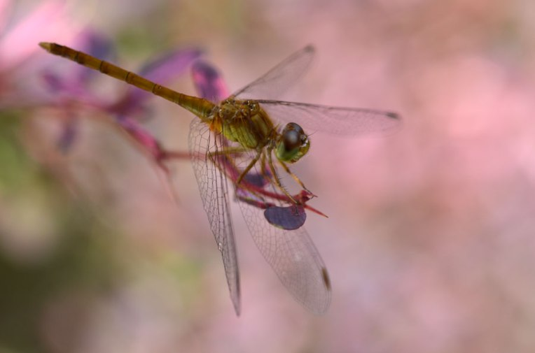 YellowDragonfly3