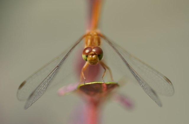 YellowDragonfly4