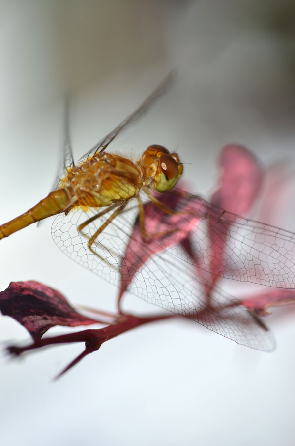 YellowDragonfly5
