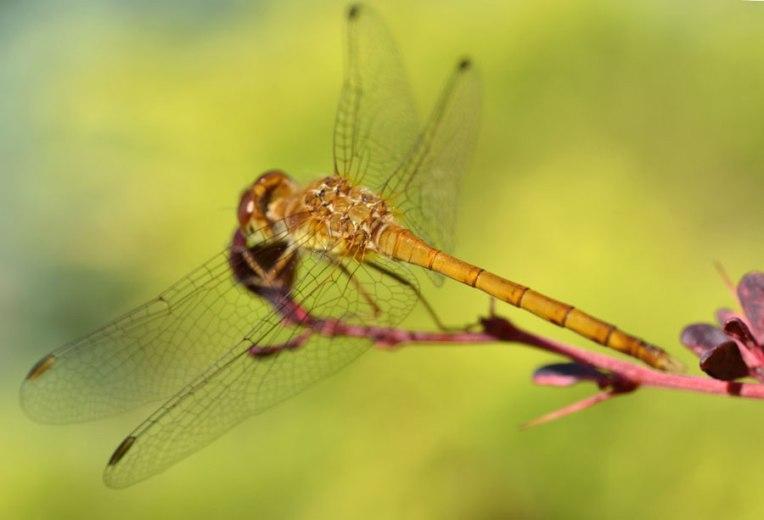 YellowDragonfly6