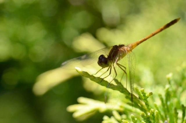 YellowDragonfly7