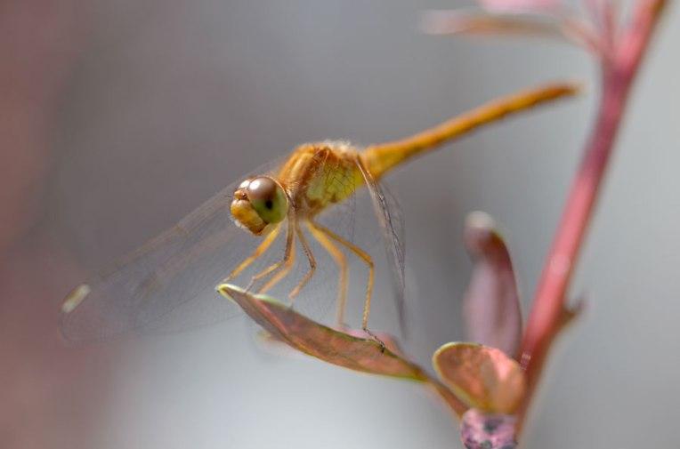 YellowDragonfly8
