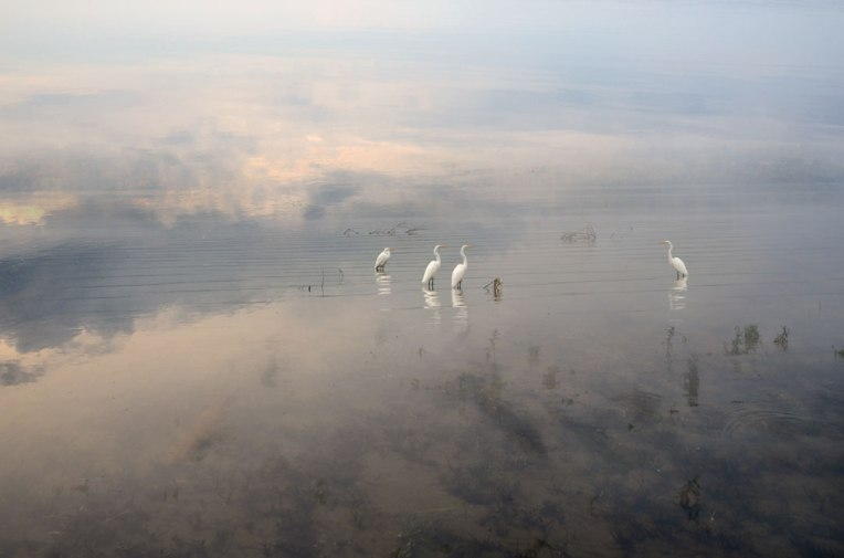 A-Gathering-_-Egrets