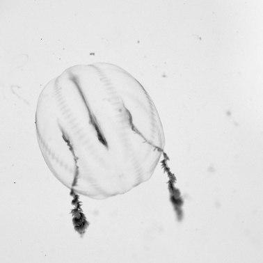 Pleurobrachia-(Sea-Gooseberry)2