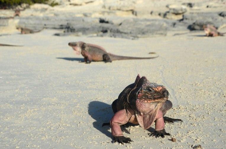 Rock-Iguana1