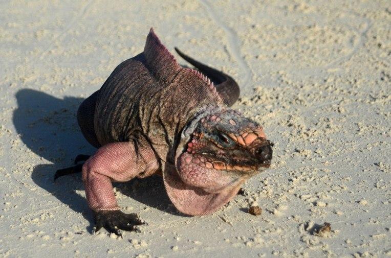Rock-Iguana2