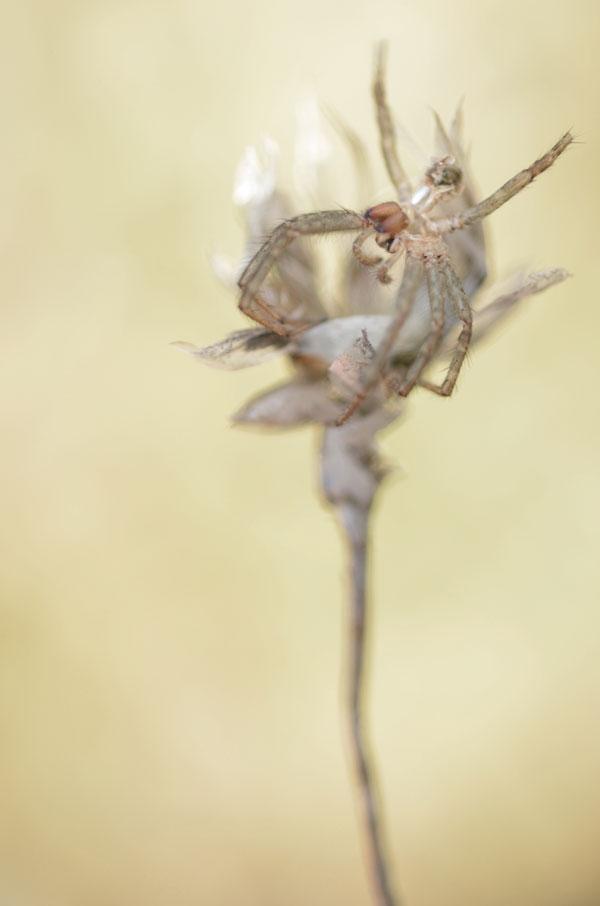 SpiderSeedhead1