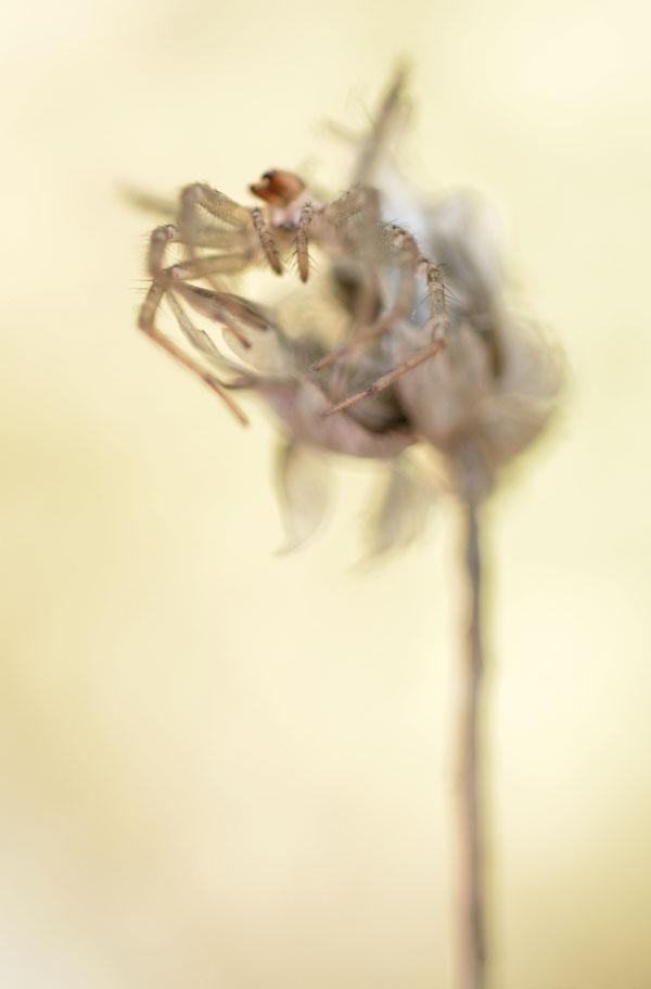 SpiderSeedhead4