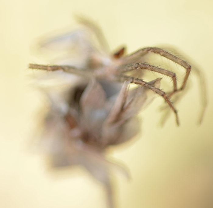 SpiderSeedhead5