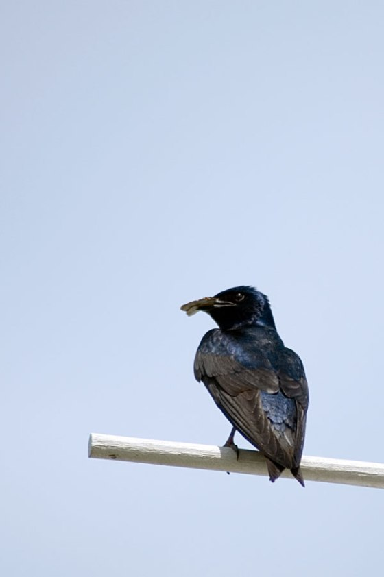 Purple-Martins-5