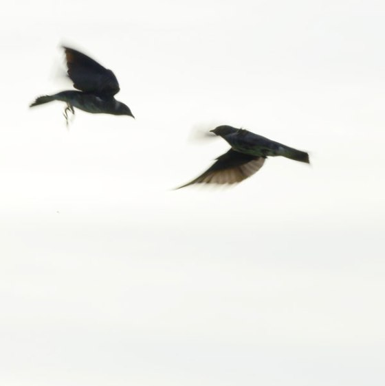 Purple-Martins-6