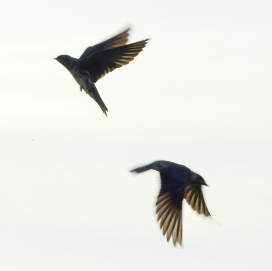 Purple-Martins-7