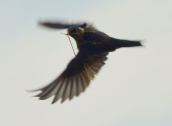 Purple-Martins-9