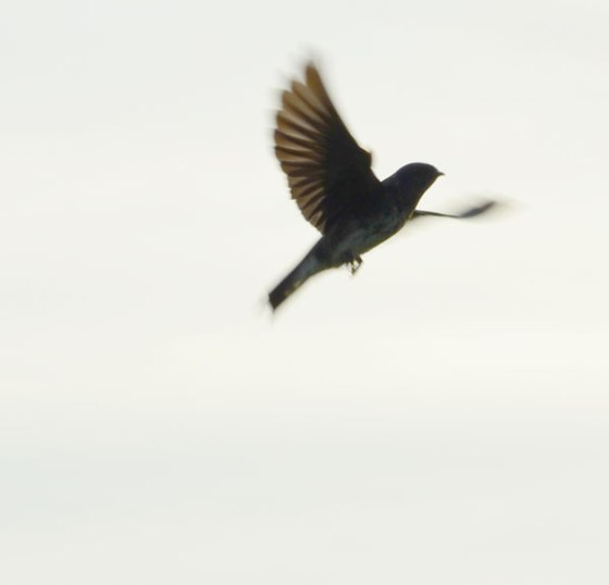Purple-Martins11
