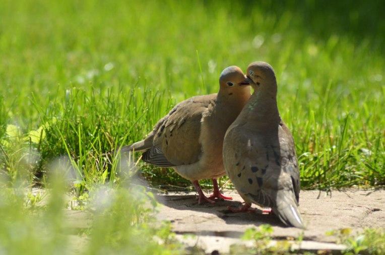 KissingDoves2