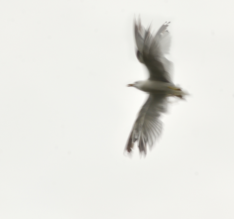 Gull-Flight