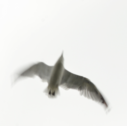Gull-Flight3