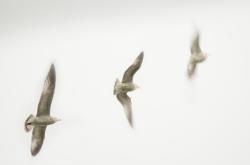 Gull-Flight4