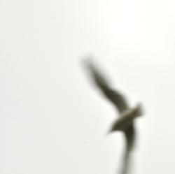 Gull-Flight5