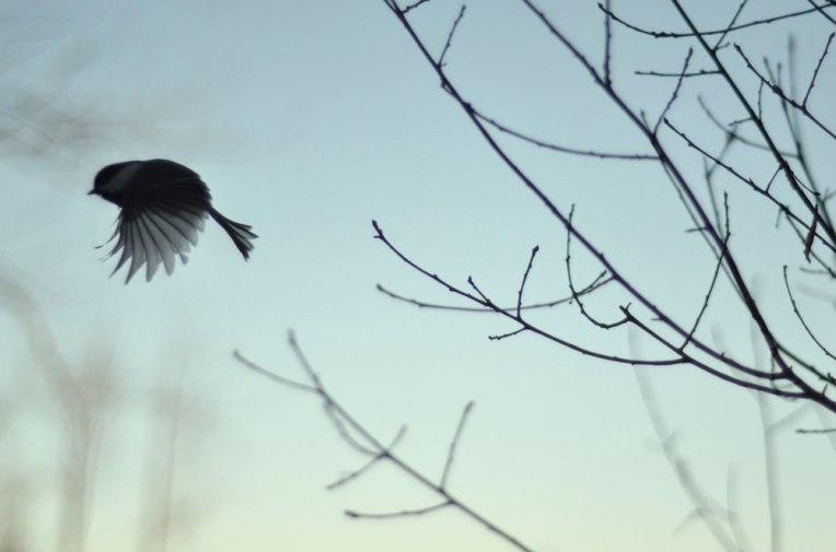 FlightatDusk_chickadee