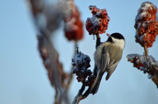 Chickadee-with-Sumac