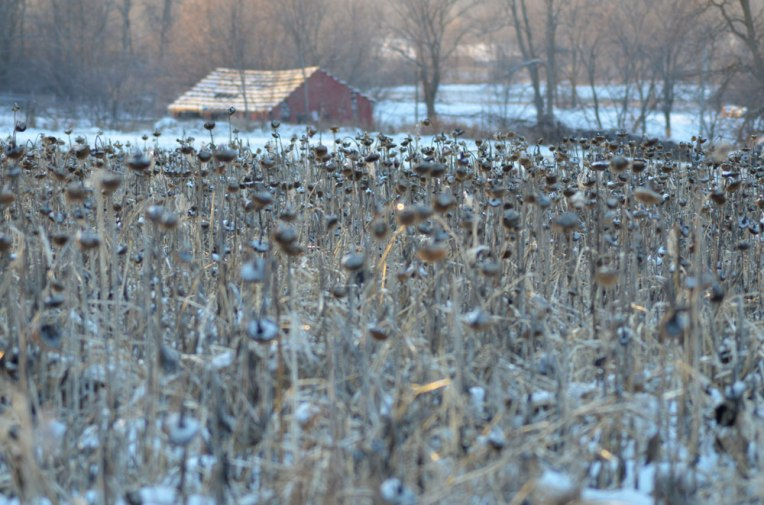 Winter-Field_-Sunflowers1