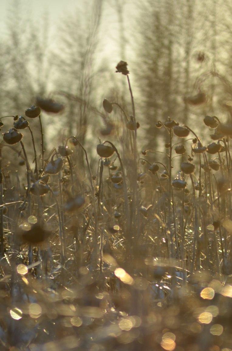 Winter-Field_-Sunflowers2