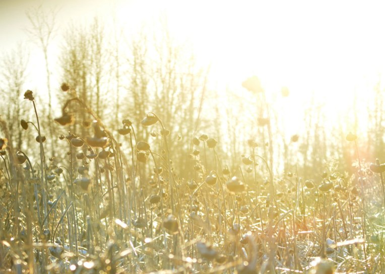 Winter-Field_-Sunflowers3