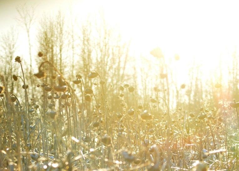 Winter-Field_-Sunflowers3