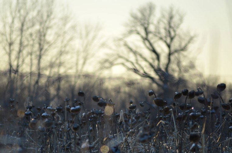 Winter-Field_-Sunflowers5