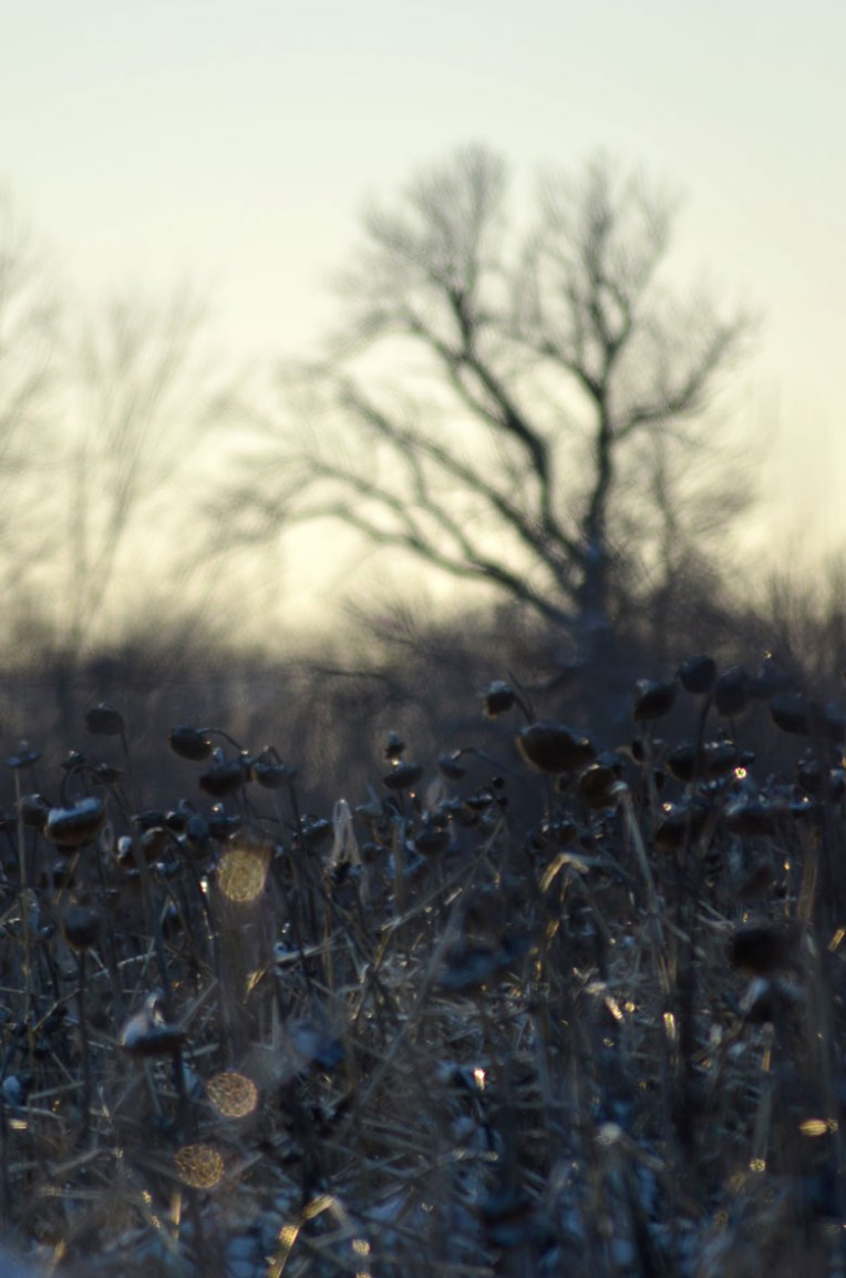 Winter-Field_-Sunflowers6