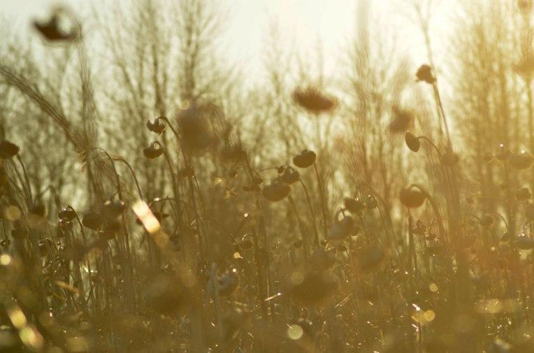 Winter-Field_-Sunflowers7