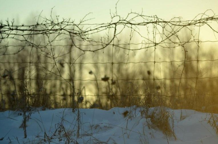 Winter-Field_-Sunflowers9