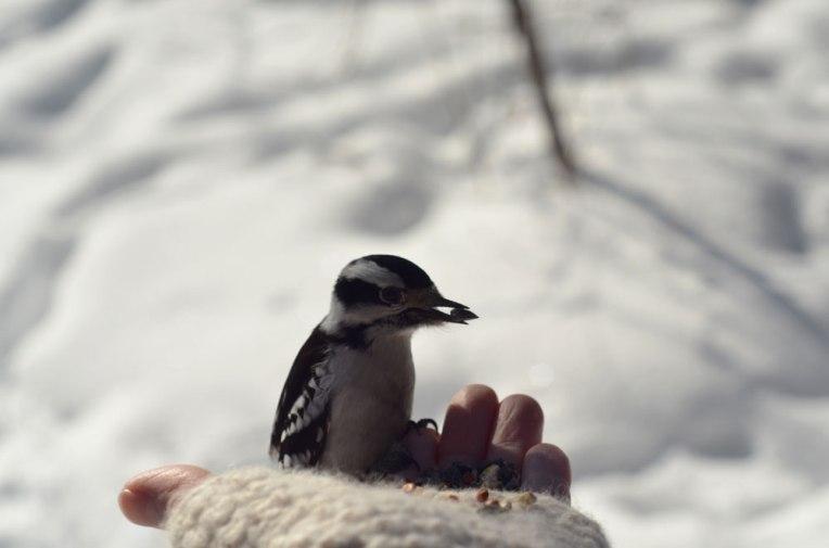 DownyWoodpecker4(female)
