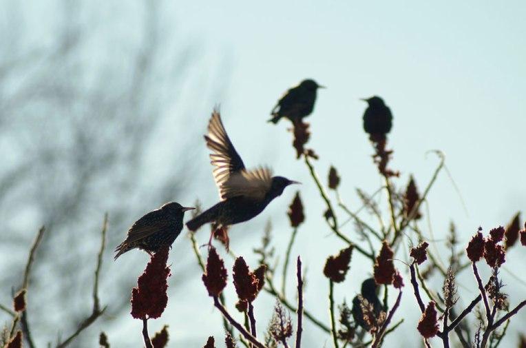 StarlingsandSumac1