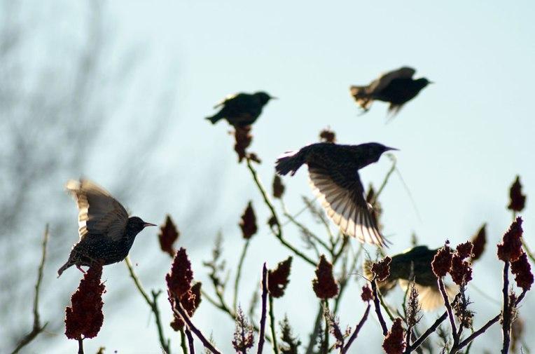 StarlingsandSumac2