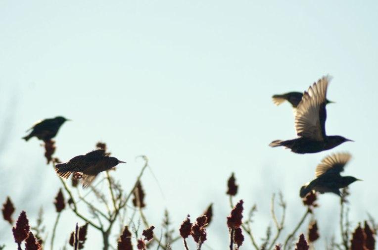 StarlingsandSumac3