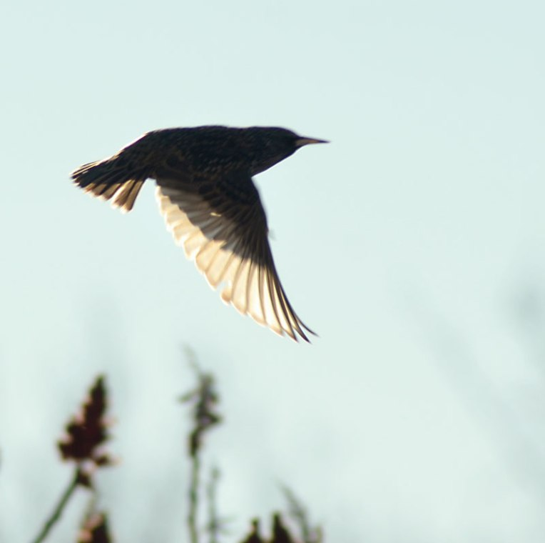 StarlingsandSumac4